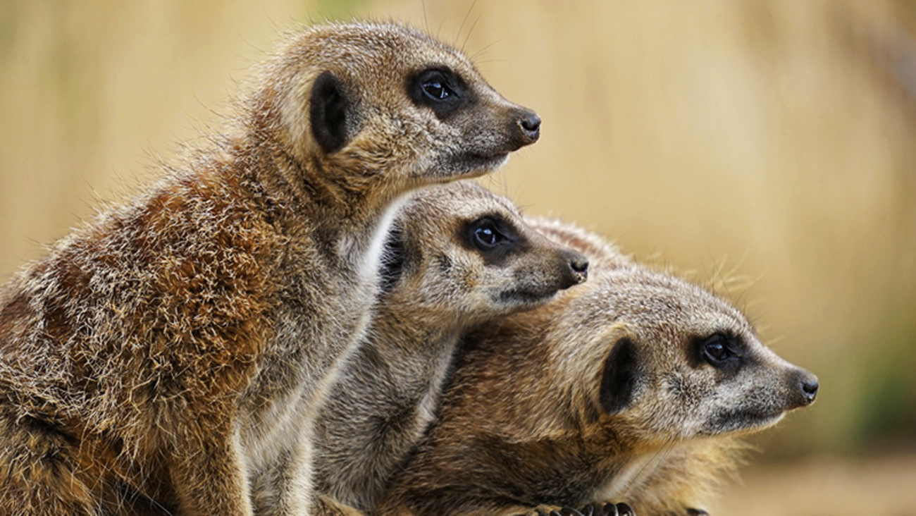 Learn about marvelous meerkats on our blog!