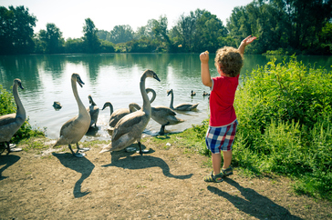 Little boy with geese