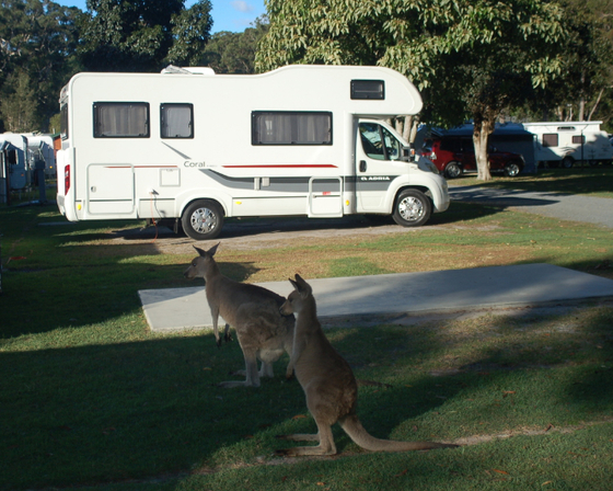 Kanagroos in campground