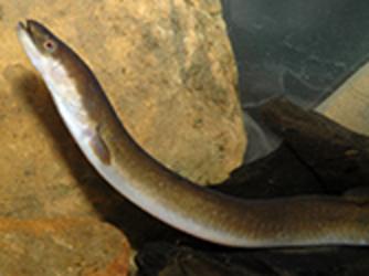 Short-finned Eel