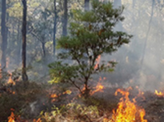 A banksia during planned burning