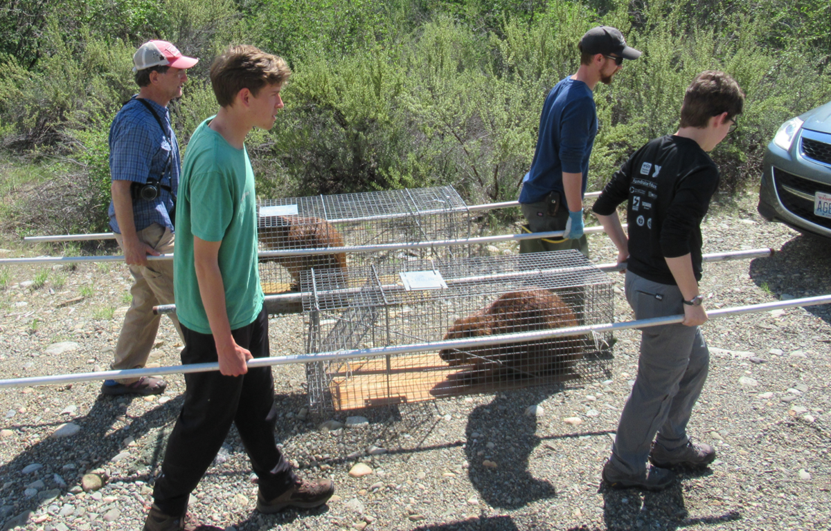 Students carrying beavers being relocated to wilderness streams in Central Washington's Methow Valley