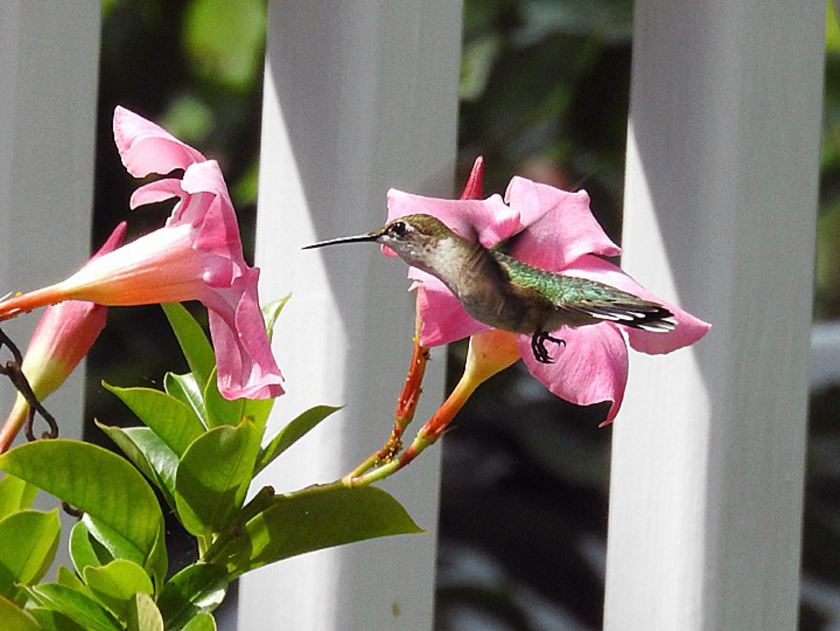 A humming bird floats in mid-air in front of a pink flower