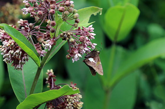 a moth pollinates a butterfly weed plant