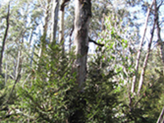 Cool Temperate Rainforest recovering from fire