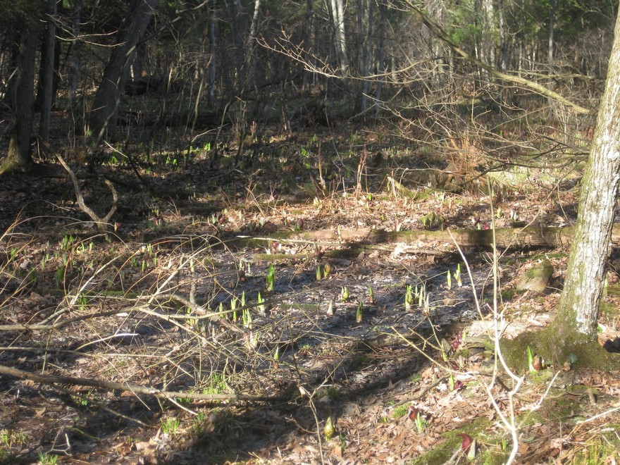 Skunk cabbage sprouting