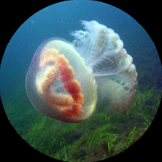 Species page for Pseudorhiza haeckelii