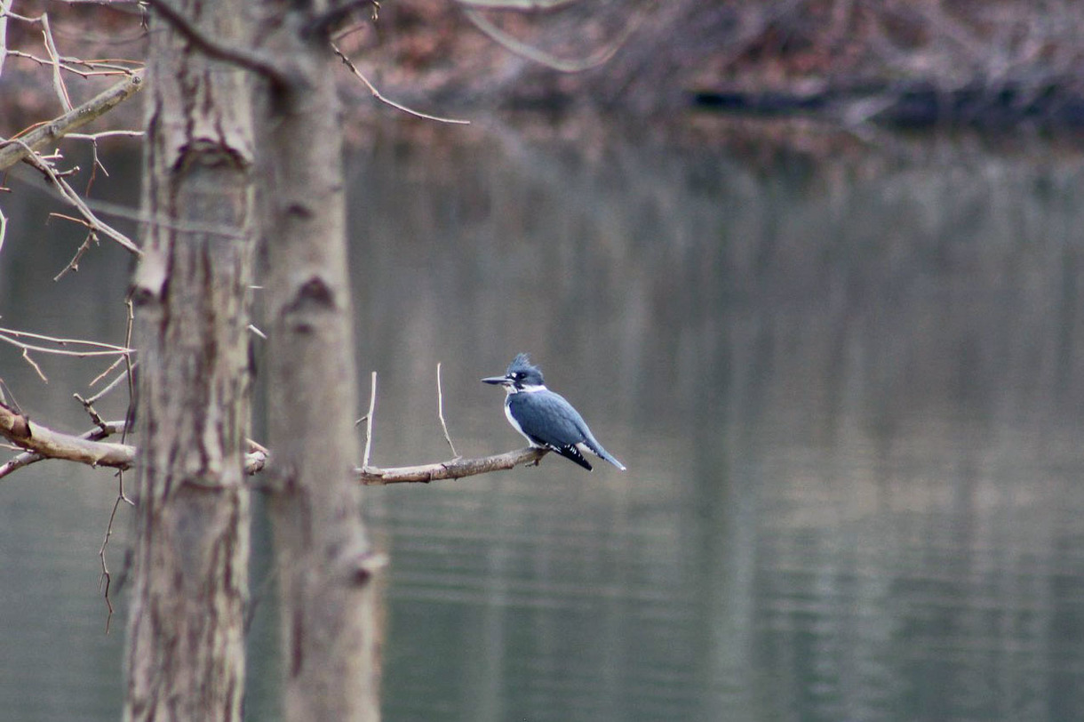A bird with blue feathers sits on a branch above water.