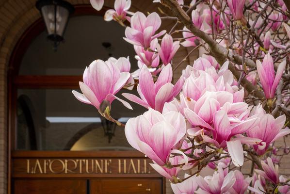 Photo of magnolia tree outside of LaFortune Hall