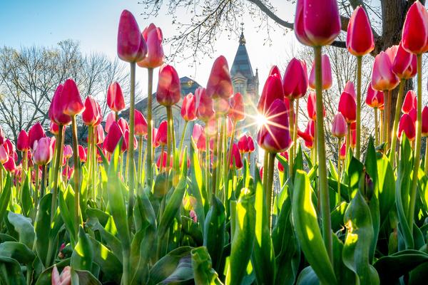 Photo of tulips outside the basilica.
