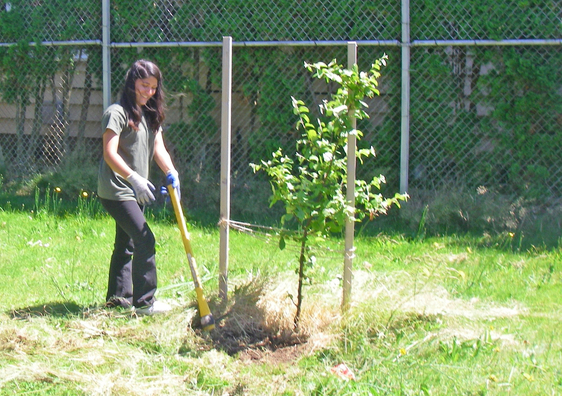A YCC Tree Crew member removes weeds around a young tree.