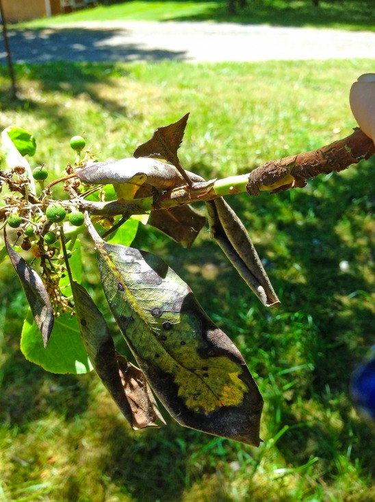 A problem with the leaves on a madrone tree.