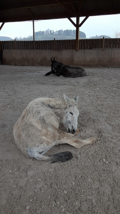 Donkeys relaxing on the ground