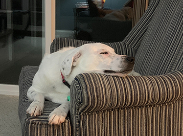 Otis the dog sleeping on the couch