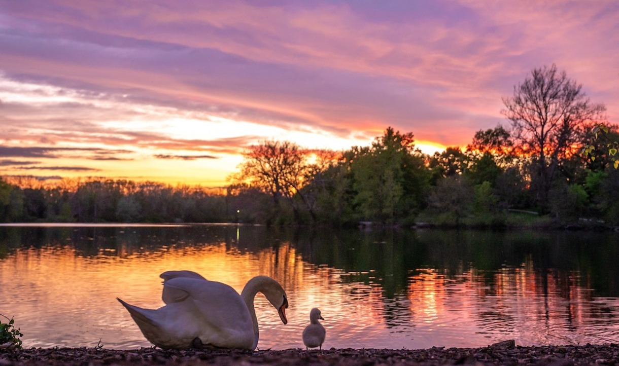 Photo of swans at sunset on a lake