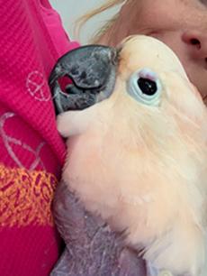 Nutmeg the parakeet snuggling his mama