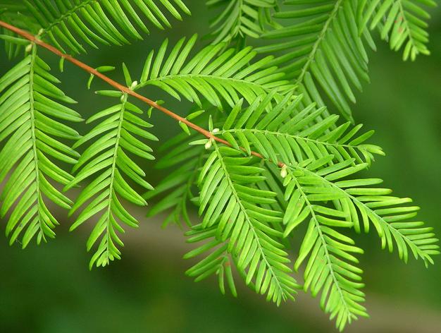 Bright new foliage on a dawn redwood tree