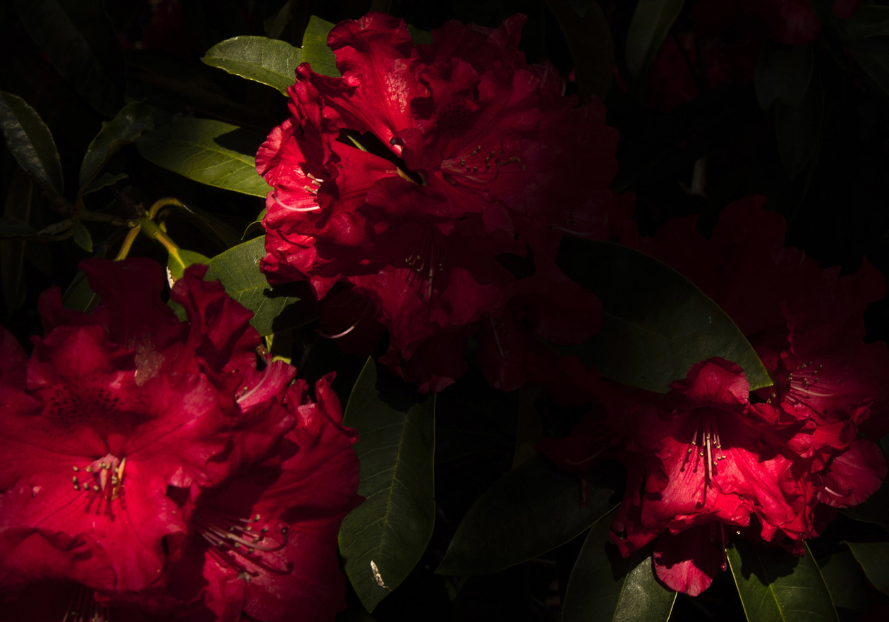 campus rhododendrons