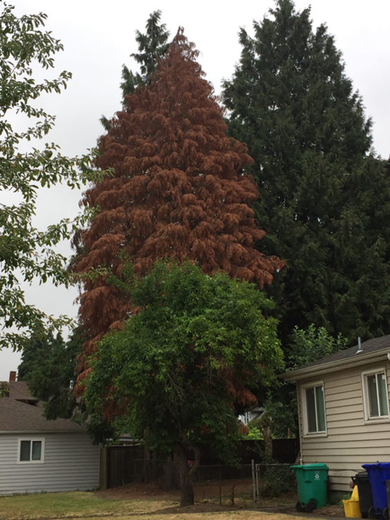 Western red cedars (Thuja plicata) are in decline in Oregon.