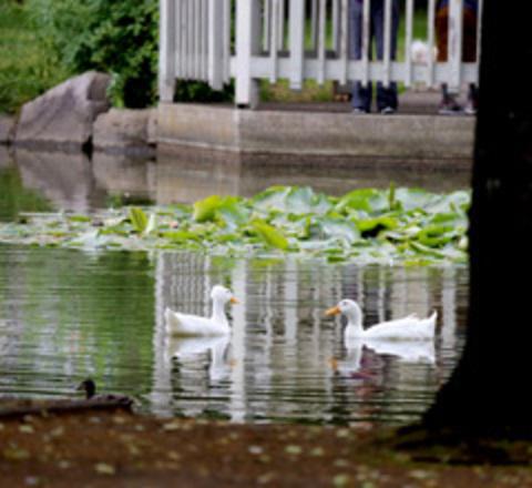 Ducks swim at Red Sunset Park