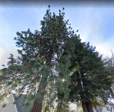 A ponderosa pine and redwood tree in Southwest Portland.