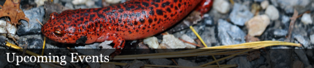 Upcoming events: A red slamander crawls on the ground around rocks