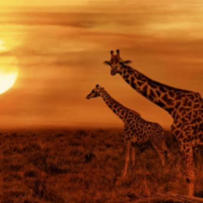Savannah with giraffes