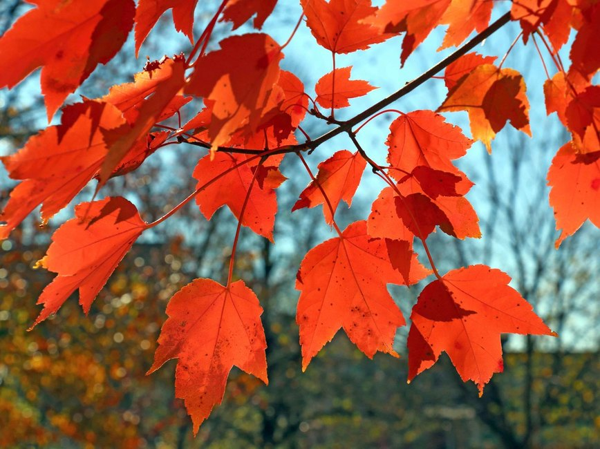 Red maple leaves on a tree branch