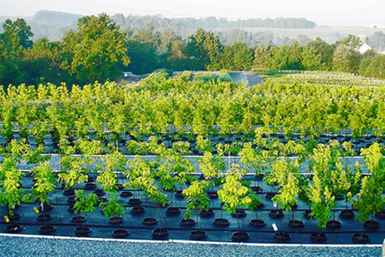 Sapling trees lined up in black plastic pots at a nursery.