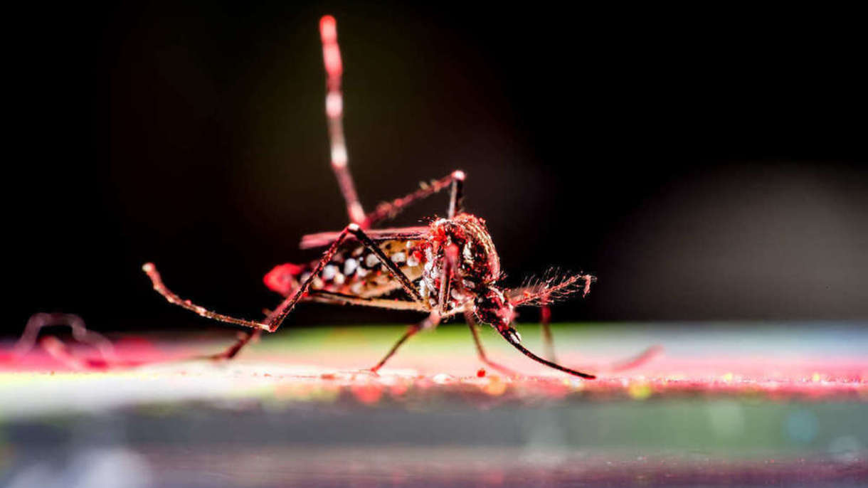 Photo of a mosquito.