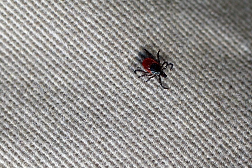 A tick with black legs, head, and red body crawls on fabric.