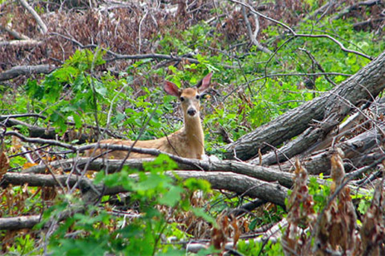 A deer stands i nthe woods among fallen banches and shrubs.