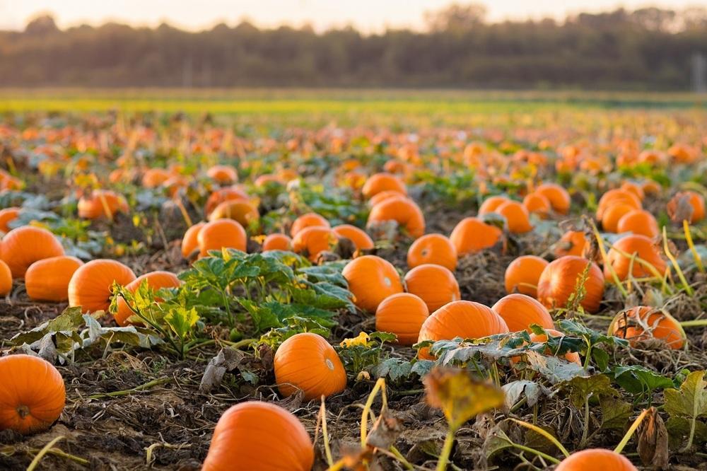 A bright pumpkin patch