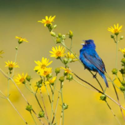 Bluebird in a grassland field