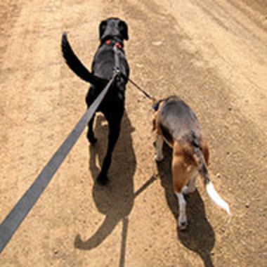 Behind view of dogs walking on leashes