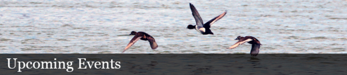 Three ducks fly over water. Text: Upcoming Events