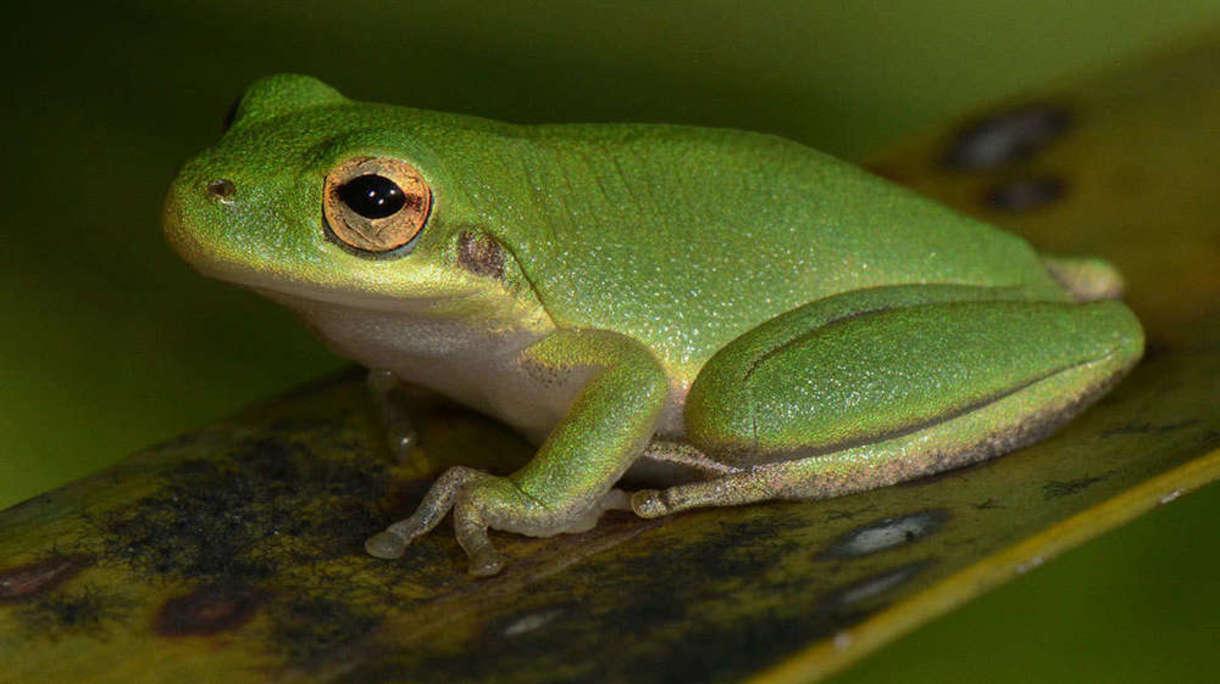 Photo of tree frog (Jeremy Cohen, University of Wisconsin-Madison)