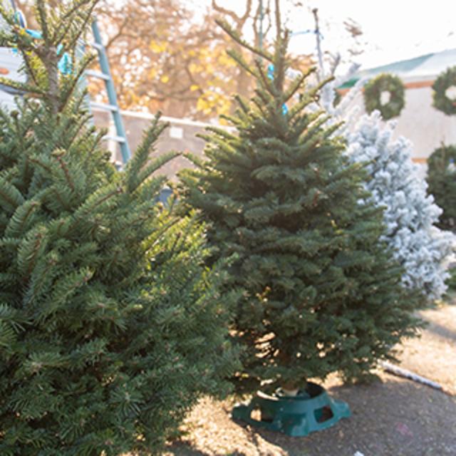 Three mini christmas trees