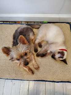 Yorkie and Siamese cat cuddling together