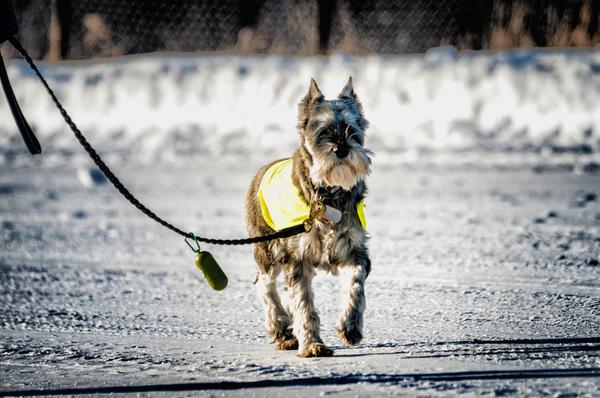 Dog on leash walking on snowy road.