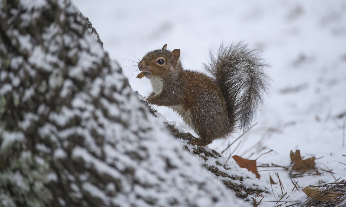 Squirrel climbing up snow covered tree trunk