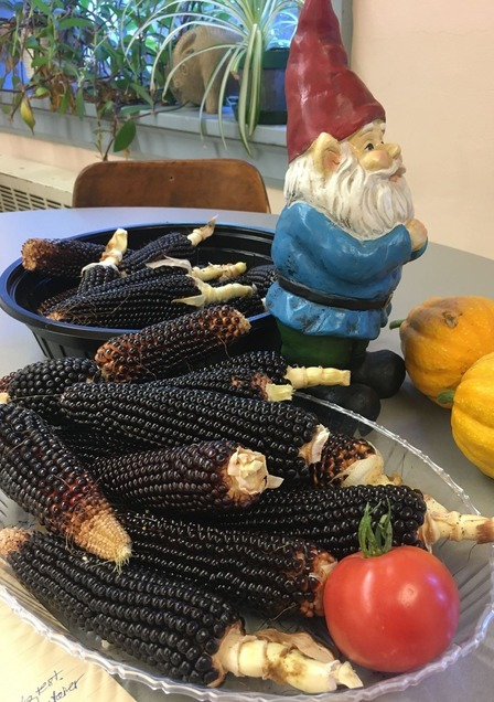 Photo of Jeremy the gnome with harvested Dakota Black popcorn