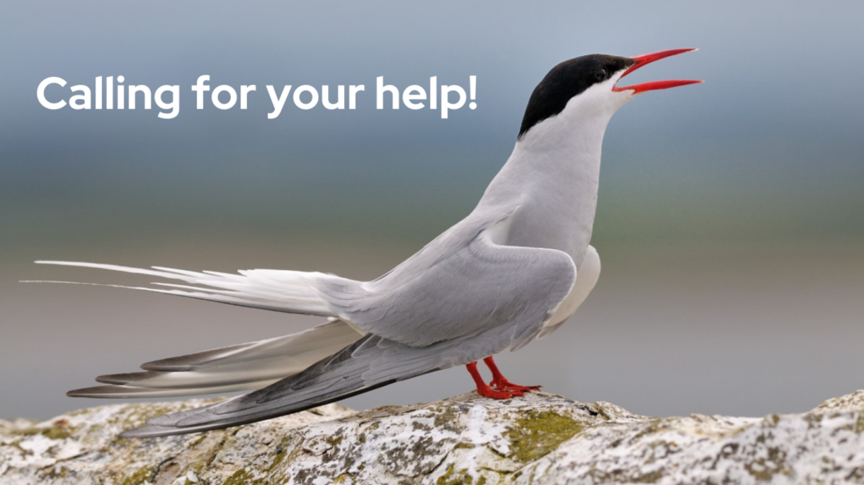 Image: Arctic Tern stands on a rock with their beak open. Text reads: