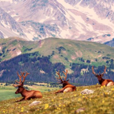 elks in mountains
