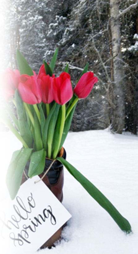 tulip flowers in the snow with a sign saying hello spring