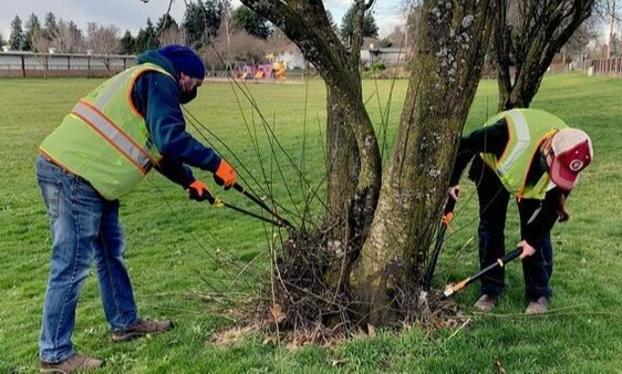 Two people prune sucker shoots on a tree.