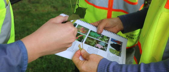 Volunteers identify a tree by looking at the leaves.