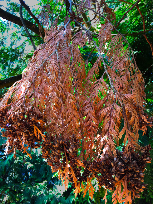 Dying leaves on a western redcedar.