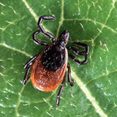 closeup of blacklegged tick on a leaf