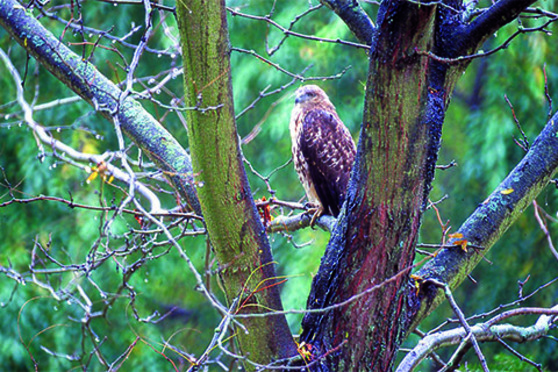 Bird, tree, forest, woods, animal, hawk, branch.